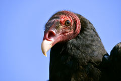 Free Portrait Turkey Vulture Stock Photography - 30990462