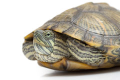 Portrait of a turtle Stock Image