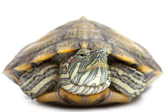 Portrait of a turtle close-up Royalty Free Stock Image