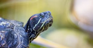 Portrait of a turtle close up. Turtle is a symbol of wisdom_. Portrait of a turtle close up. Turtle is a symbol of wisdom royalty free stock photos