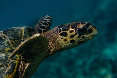 Portrait of a turtle searching for food on the bottom of the indian ocean at Maldives Royalty Free Stock Photos
