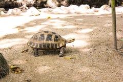 Portrait turtle walk on ground Royalty Free Stock Photo