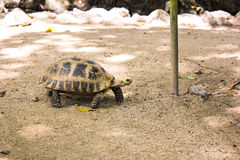 Portrait turtle walk on ground Royalty Free Stock Images