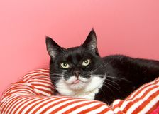 Tuxedo black and white cat laying on a red and white striped bed looking at viewer with tongue sticking out. Portrait of a Tuxedo black and white cat laying on a stock photo