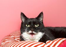 Portrait of a Tuxedo black and white cat laying on a red and white striped bed. Looking at viewer with mouth wide open, toothless talking, meowing. Pink royalty free stock photo