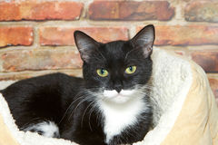 Portrait of a tuxedo tabby cat laying in bed. Black and white tuxedo tabby cat laying in a fluffy sheepskin bed next to a brick wall looking directly at viewer Royalty Free Stock Photography