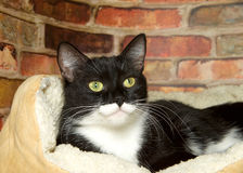 Portrait of a tuxedo tabby cat laying in bed. Black and white tuxedo tabby cat laying in a fluffy bed up against a brick wall background Royalty Free Stock Photos