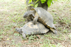 Portrait of two an adult turtles having sex Stock Images