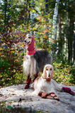 Portrait of two Afghan greyhounds, beautiful, dog show appearance. Royalty Free Stock Image