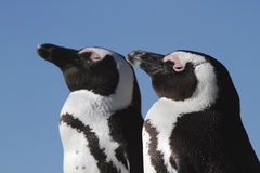Portrait of two African Penguins. A portrait of two African Penguins, Boulders Beach, Simonstown, Cape Town royalty free stock images