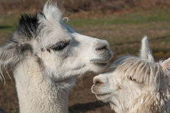 Portrait of two Alpaca. Stock Photo