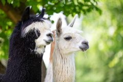 Portrait of two Alpacas royalty free stock images