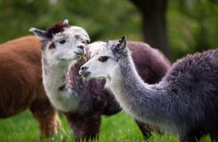 Portrait of two Alpacas. South American mammals royalty free stock image