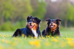 Portrait of two Australian Shepherd dogs Stock Photo