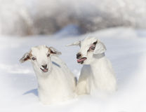 Portrait of two baby goats Royalty Free Stock Image