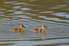 Portrait of two baby gray gooses anser anser swimming Stock Photography