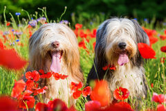 Portrait of two bearded collies in a poppy field Stock Photos