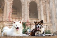 portrait of two beautiful happy Japanese Akita dog lay. castle on background stock images