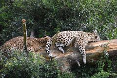 Portrait of two beautiful sleeping leopards on a tree in South Africa royalty free stock photography