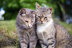 Two beautiful tabby cats stock photography