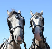 Portrait of two beautiful white horses Stock Photos