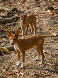 Portrait of two beautiful young mixed race stray dogs in Sierra Leone, Africa royalty free stock photography