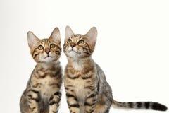 Portrait of Two Bengal Kitten on White Background Stock Photos