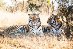 Portrait of two bengal tigers Stock Photography