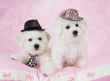 Portrait of two Bichon Frise puppies Stock Photography