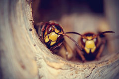 Portrait of two big wasps - hornets Stock Photography