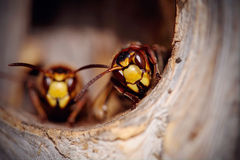 Portrait of two big wasps - hornets Stock Image