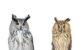 portrait of two birds owls on white background Stock Photography