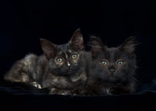 Portrait two black kittens on black background. Portrait of a Black and chocolate brown long haired tabby kitten with tortie kitten laying on black velvet Stock Photography
