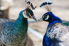 Portrait of two blue peacock in love. Royalty Free Stock Images