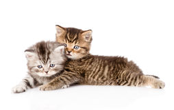 Portrait of two british kittens. isolated on white background Stock Photography