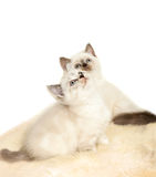 Portrait of two British Shorthair Kitten sitting, color point color. Stock Images