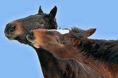 Portrait of two brown horses nuzzling Stock Photos