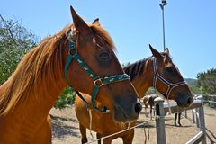 Portrait of two brown horses. With halter inside a paddock Royalty Free Stock Photography