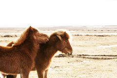 Portrait of two brown Icelandic ponies Stock Photo