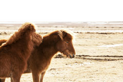 Portrait of two brown Icelandic ponies Royalty Free Stock Images