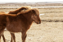 Portrait of two brown Icelandic ponies Stock Image