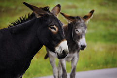 Portrait of Two Burros Stock Images