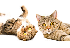 Portrait of two cats Scottish Fold and Scottish Straight. Isolated on white background Royalty Free Stock Image