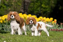 Portrait of two Cavalier King Charles spaniel Royalty Free Stock Photos