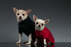 Portrait  Two Chihuahua dogs in stylish clothes. Blue background Stock Photography