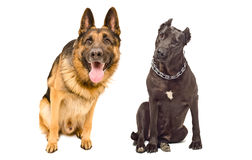 Portrait of two curious dogs. Breed German shepherd and Staffordshire Terrier Royalty Free Stock Image