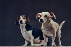 Portrait of two cute breed dog on a dark background in studio. Stock Photos
