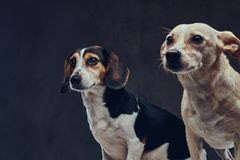 Portrait of two cute breed dog on a dark background in studio. Royalty Free Stock Image