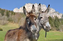 Portrait of two cute donkeys Royalty Free Stock Photo