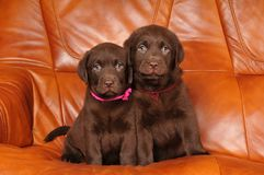 Portrait of two cute labrador puppies Stock Photography